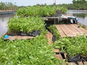 kondisi-hutan-alam-produksi-yang-masih-bagus-digantikan-dengan-hutan-tanaman-bingung-9